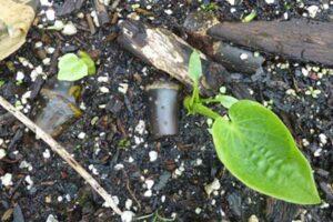 New Juvenile Kava Plant