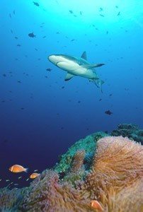 Tropical Reef Shark