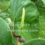 Kava Flower